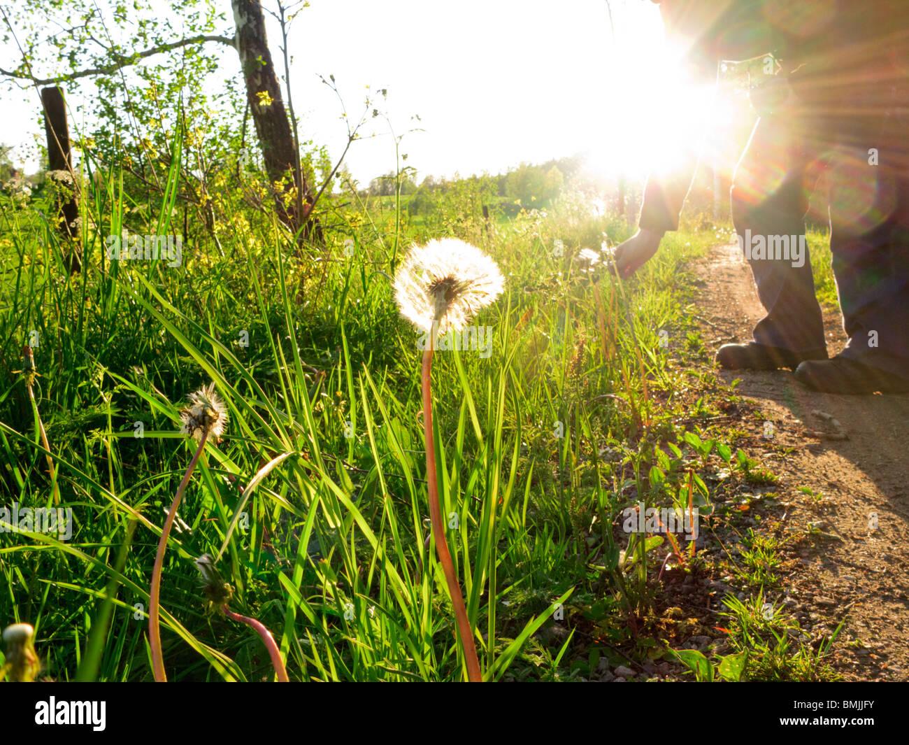 Skandinavien, Schweden, Sodermanland, Person Kommissionierung Löwenzahn (Lens Flare) Stockbild