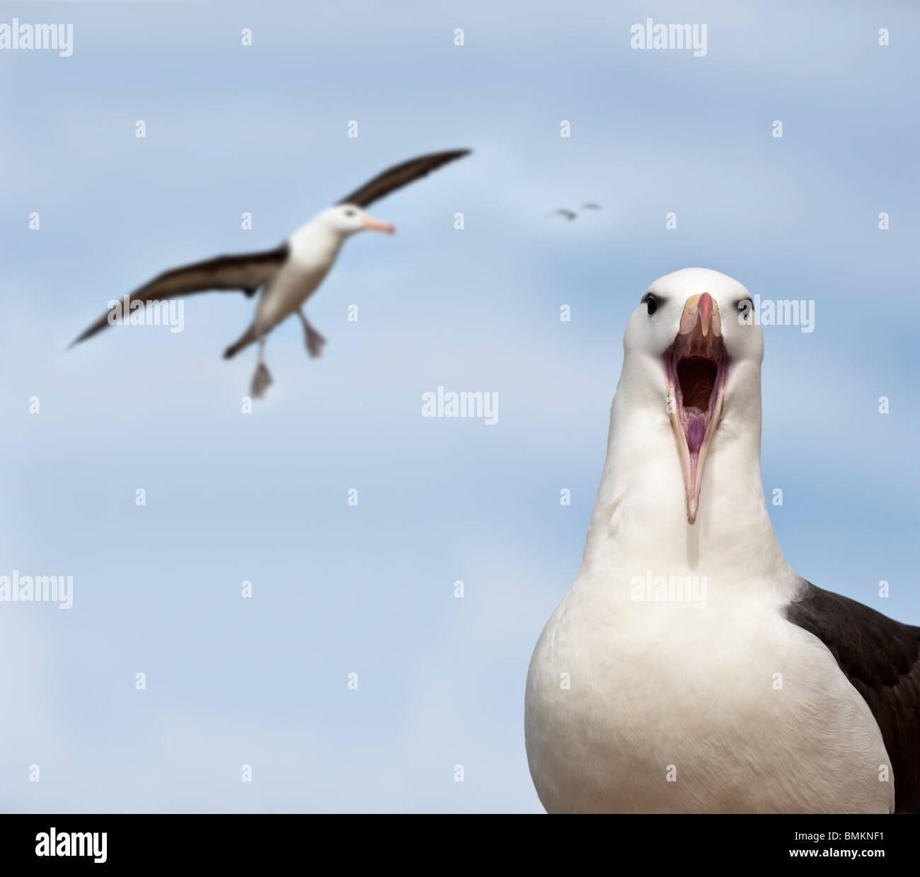Black-browed Albatros am Brutkolonie. Saunders Island, Falkland-Inseln, Süd-Atlantik. Stockbild