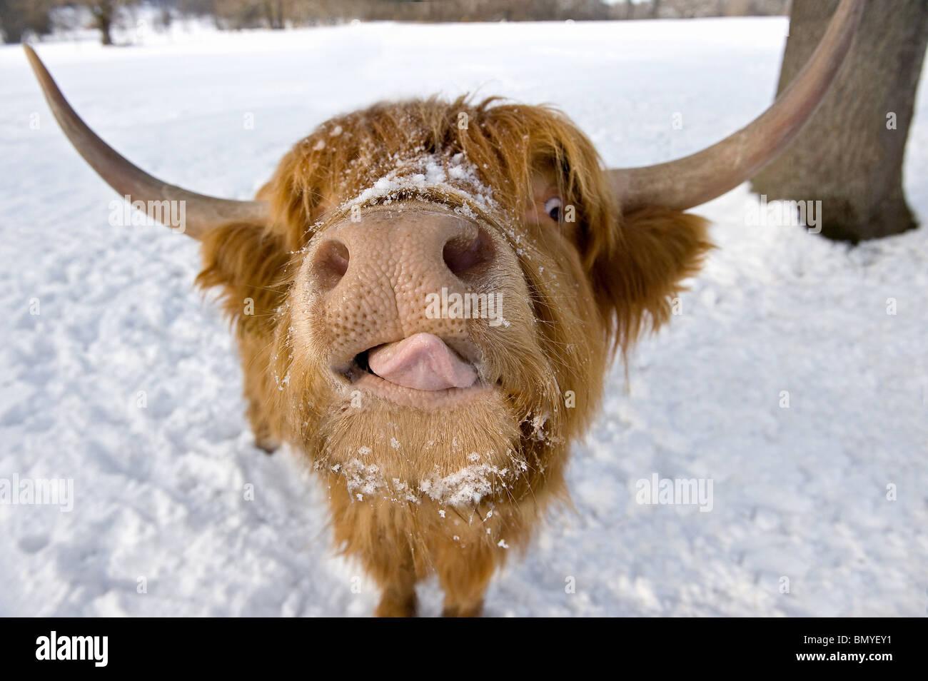 Hochlandrinder. Porträt im winter Stockfoto