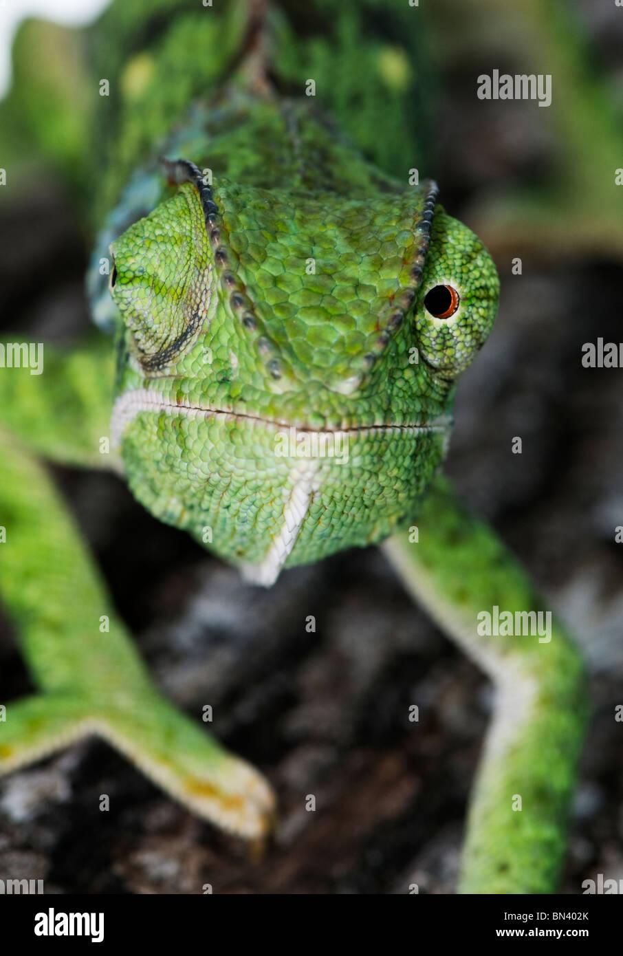 Nahaufnahme der Klappe-necked Chamäleon Chameleo delepis Stockbild