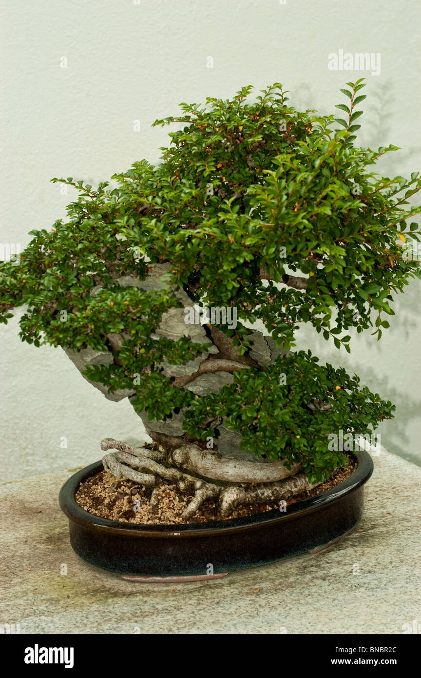 chinesische ulme ulmus parvifolia auf ying tak stein bonsai baum in montreal botanical garden. Black Bedroom Furniture Sets. Home Design Ideas