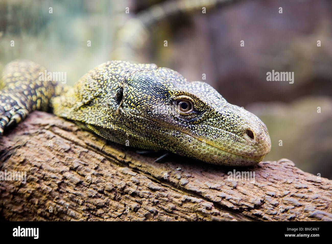 Smaragdeidechse ruht auf einem Baumstamm, genau beobachten Sie Stockbild