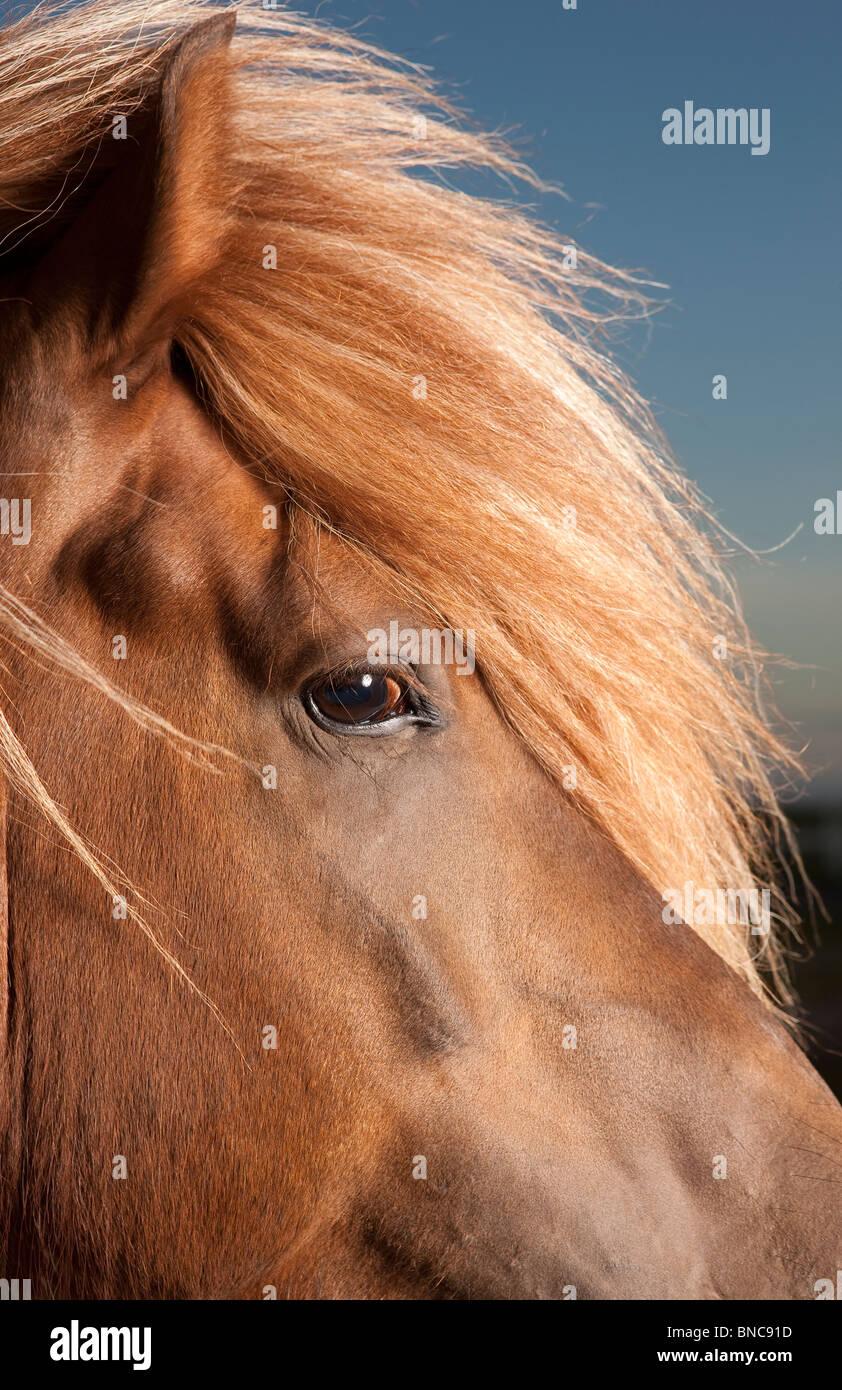 Porträt des isländischen Pferdes, Island Stockfoto