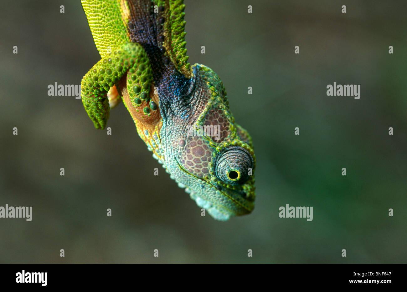 Blick auf eine südliche Zwerg Chamäleon (Bradypodian Ventrale), großaufnahme Tsitsikamma National Stockbild
