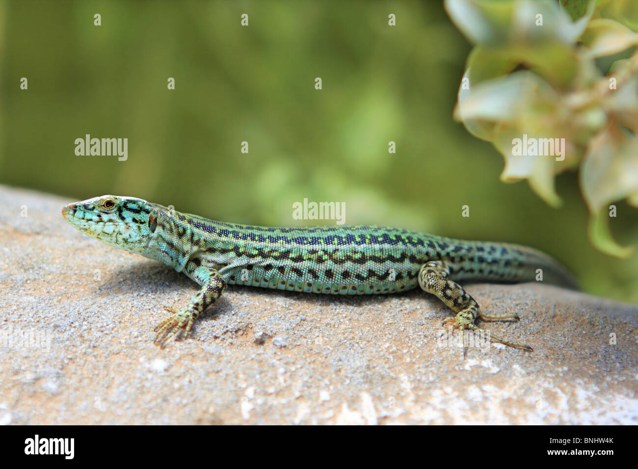 Formentera Gecko Eidechse Podarcis Pityusensis formenterae Stockbild