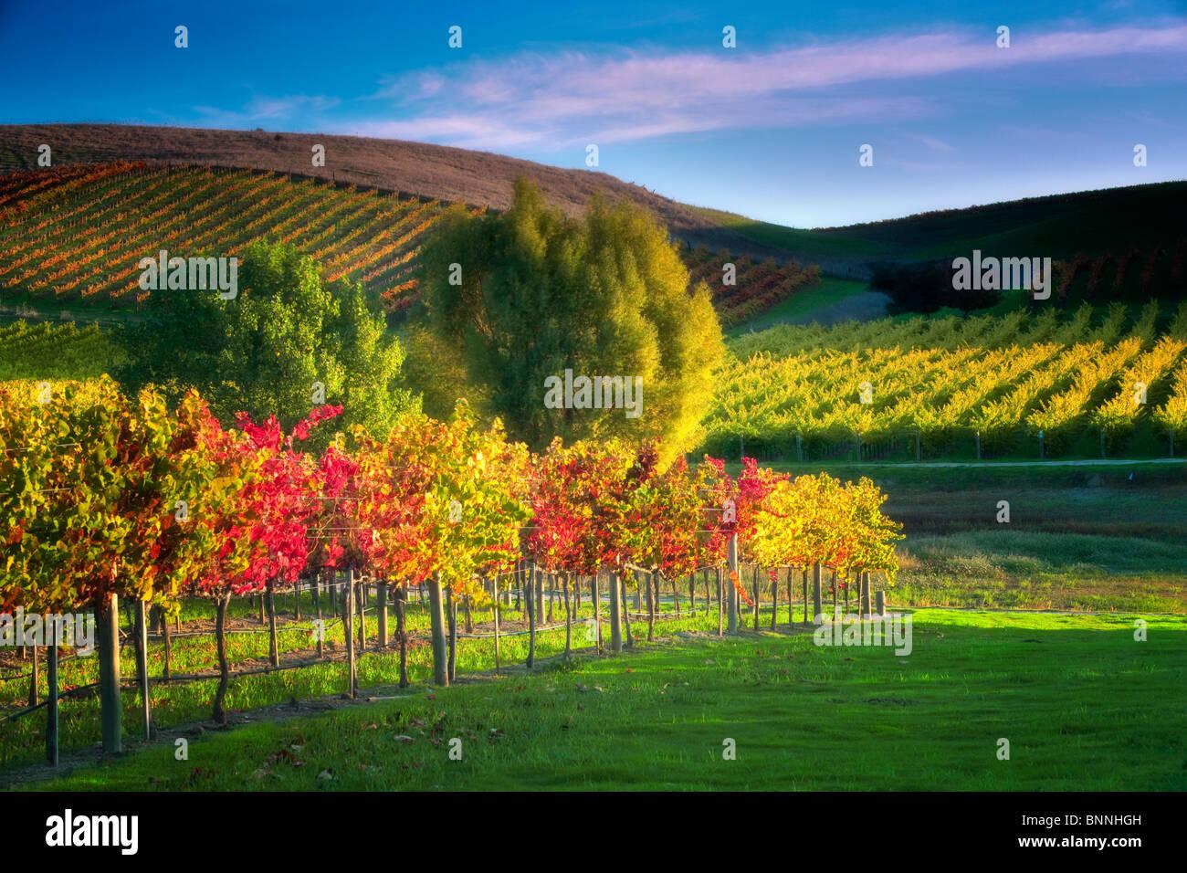 Reihen von Herbst farbige Trauben. Weinberge des Napa Valley, Kalifornien Stockbild
