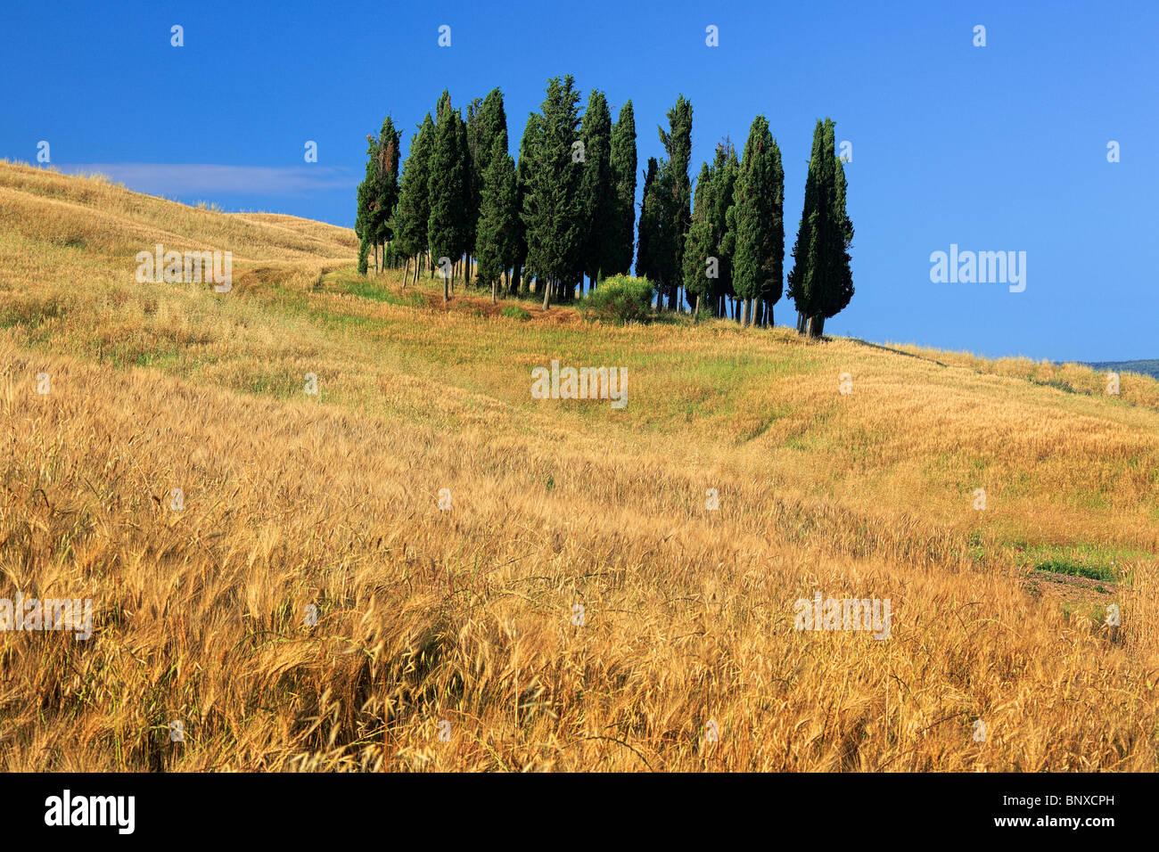 Berühmte toskanischen Zypressen in der Nähe von der Stadt von San Quirico d ' Orcia, Italien Stockbild