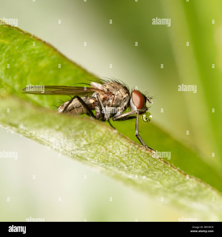 Fliegen Sie auf Blatt eine Seifenblase. Diptera. Stockbild