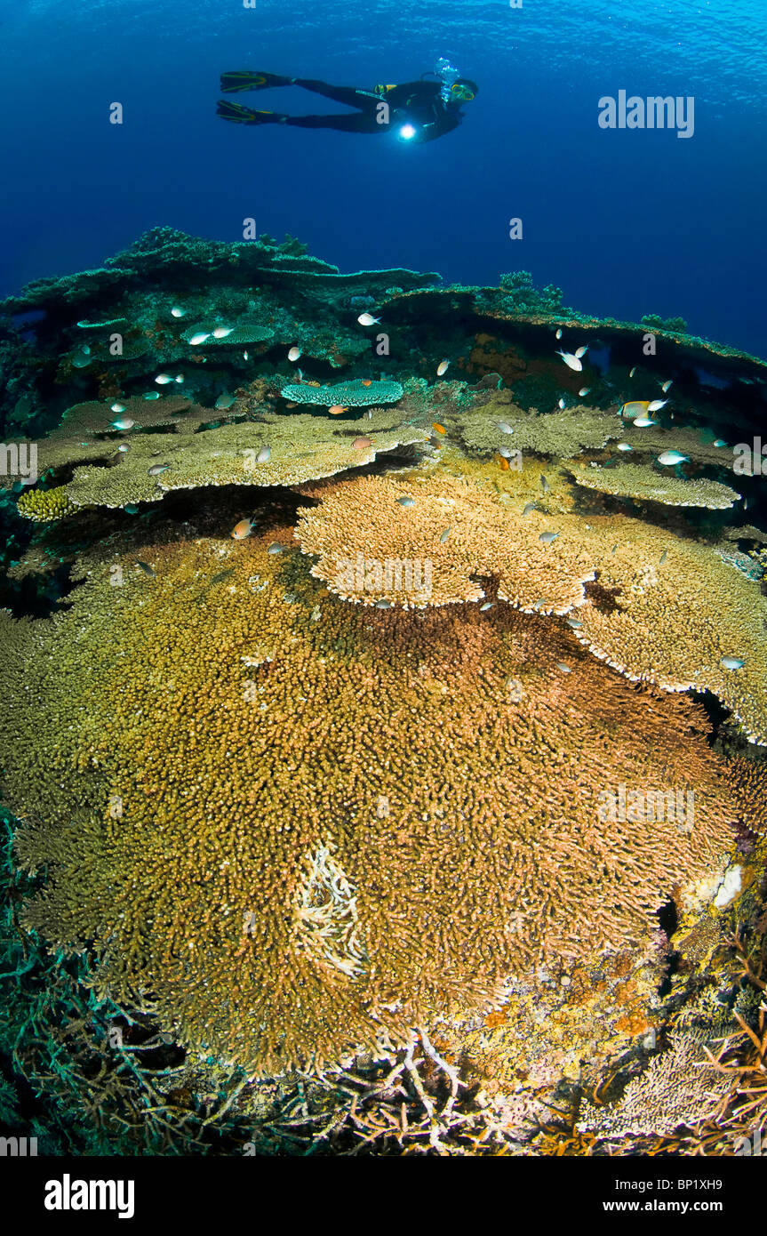 Taucher deutschen Korallenriff, Banda Inseln, Molukken, Indonesien | Taucher über Korallenriff, Banda-Inseln, Stockbild