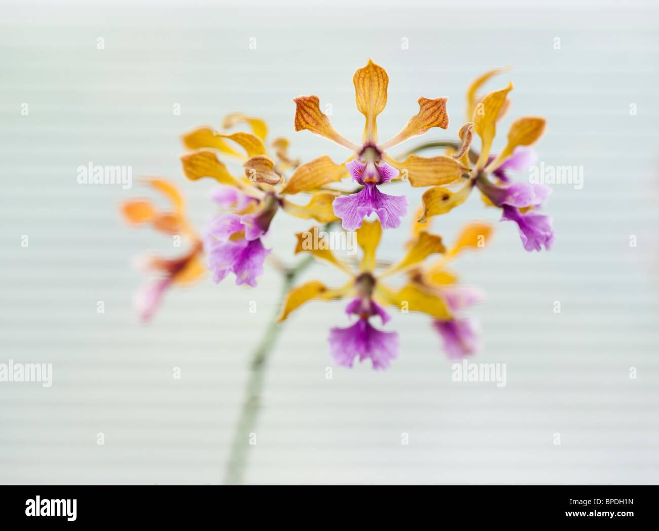 Encyclia Orchidee Blumen vor dem weißen Hintergrund eines Fenster blind Stockbild