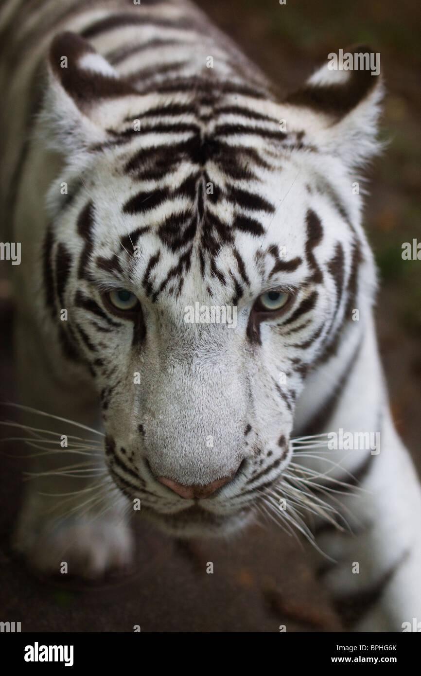 Weißer Tiger Cub, Beauval zoo Stockbild