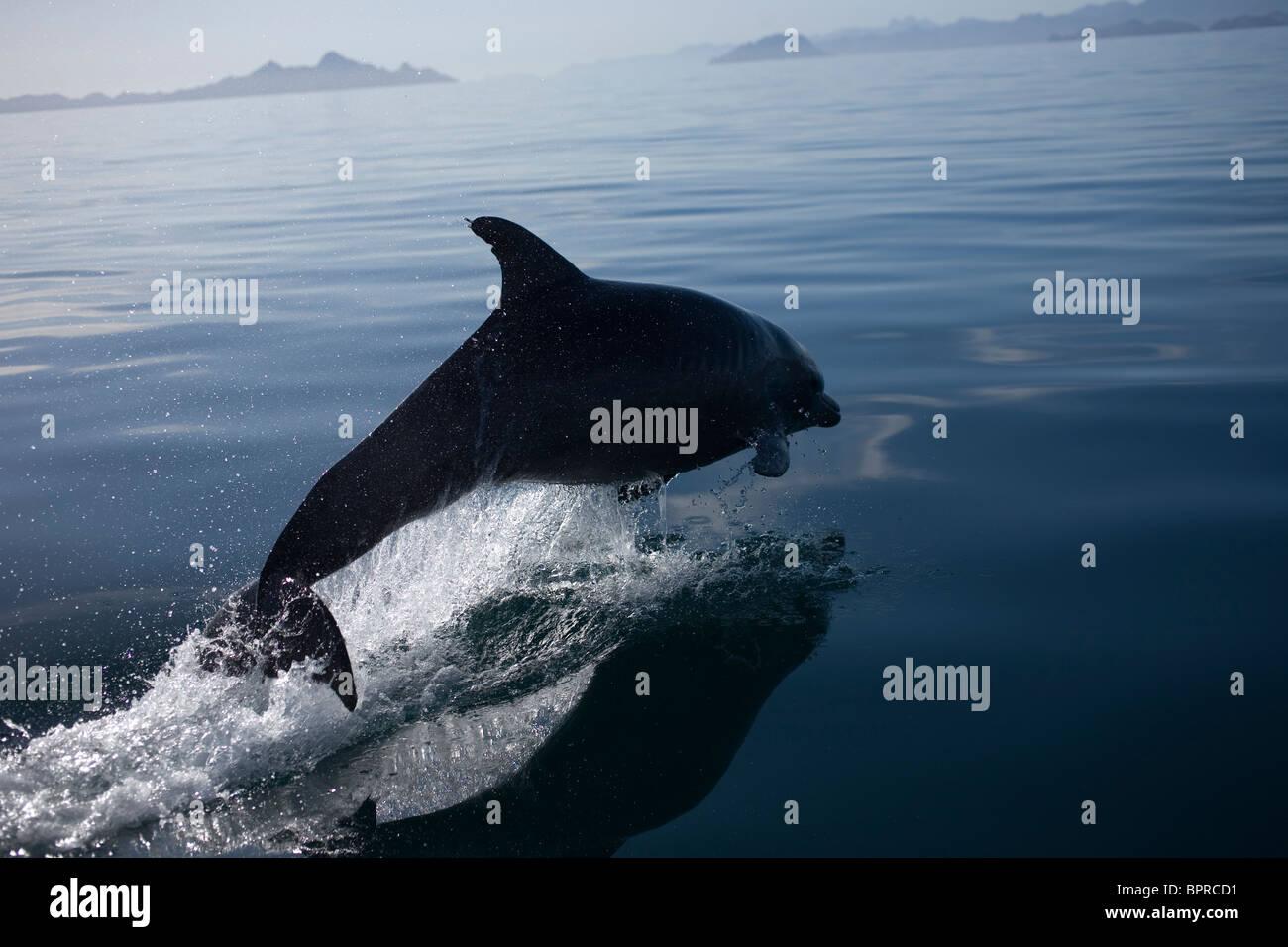 Ein Delfin springt in der Bucht in der Nähe der Stadt Loreto im südlichen Baja California Bundesstaat Stockbild