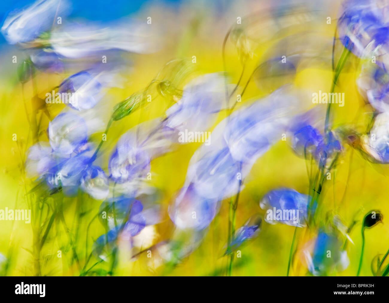 Glockenblume (Campanula Rotundifolia) im Wind, Lofoten Inseln, Norwegen AUGUST Stockbild
