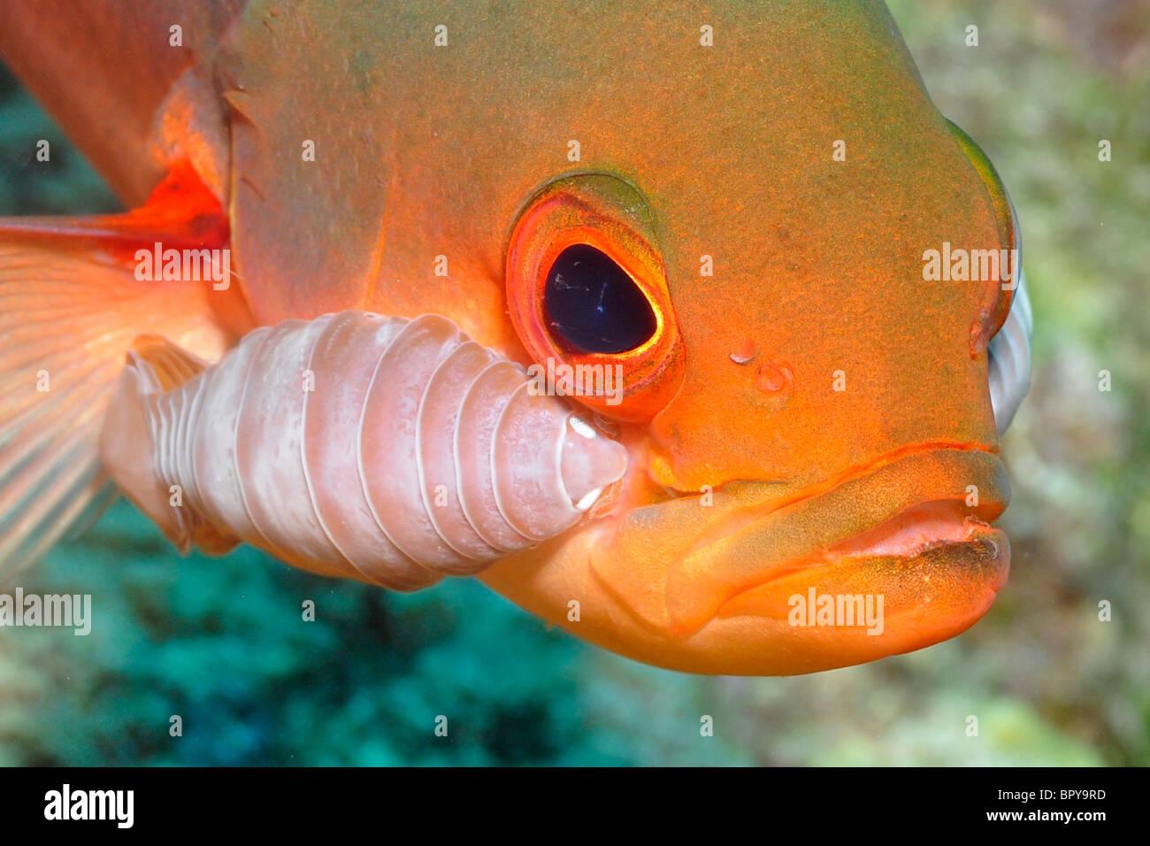 Creole-Fisch (Paranthias Furcifer) Bonaire. Diese Fischart ist hoch wird, Isopoden Parasitismus. Obwohl die Asseln Stockbild