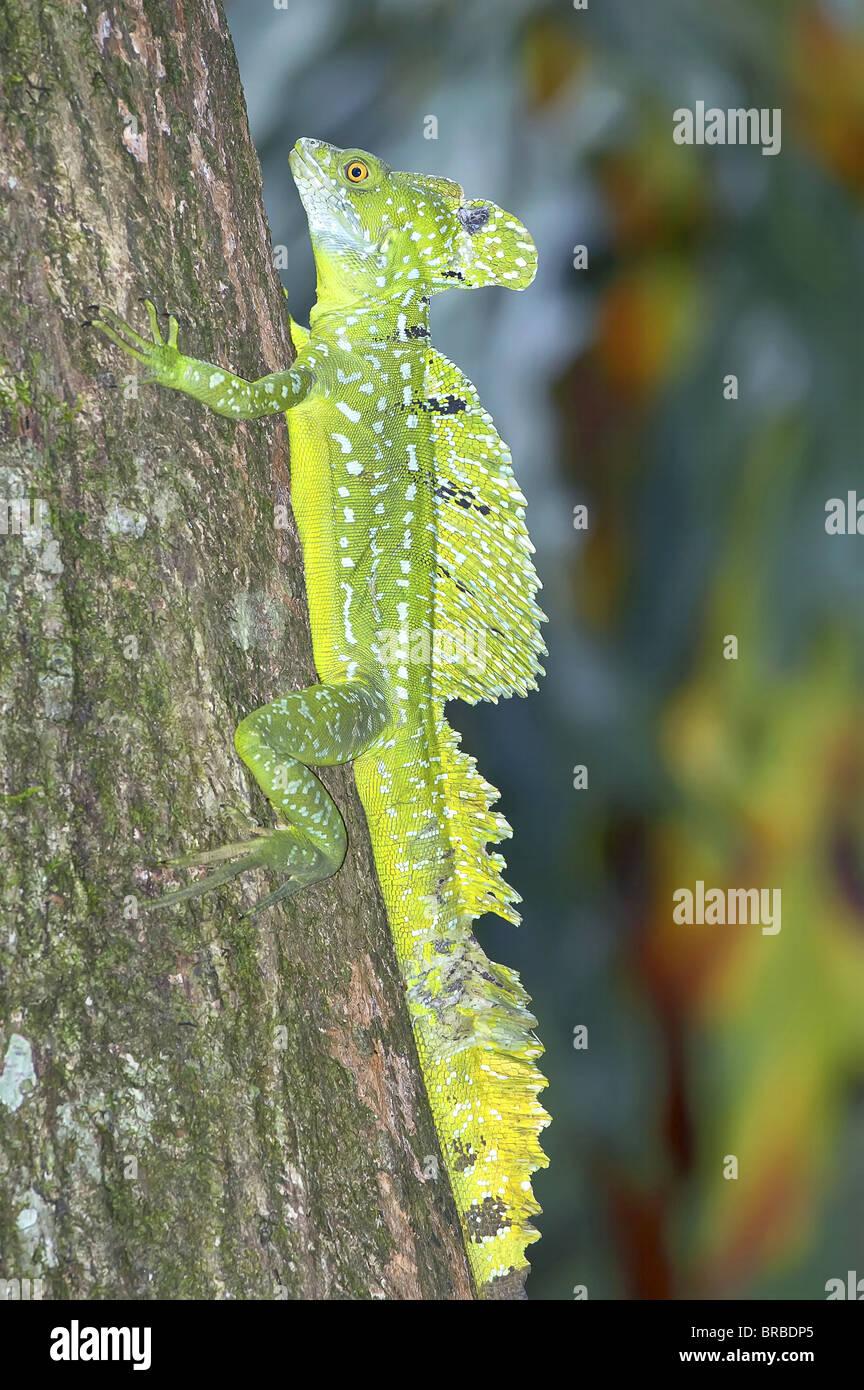 Basilisk Eidechse (Basiliskos Plumifrons) klettern auf den Baum, Costa Rica, Mittelamerika Stockbild