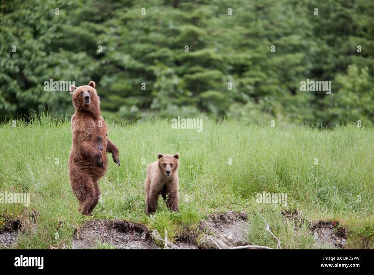 Braunbär weiblich steht mit ihr junges in hohen Gräsern, Chugach Mountains, Chugach National Forest, Prince Stockbild