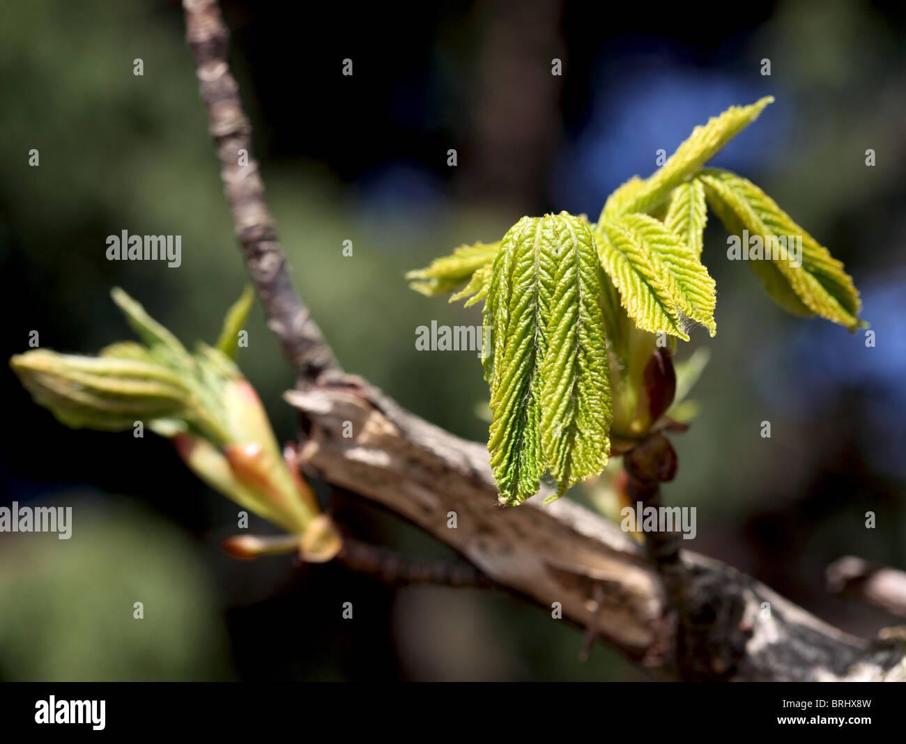 neuer Frühling Blätter am Baum Schottland Stockbild