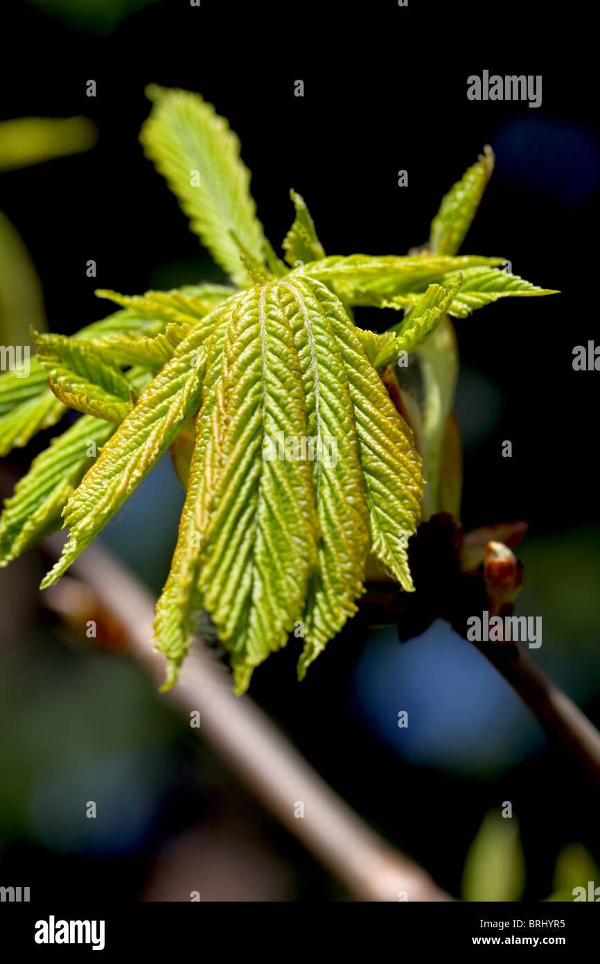 neuer Frühling Blätter auf den Bäumen Schottland Stockbild