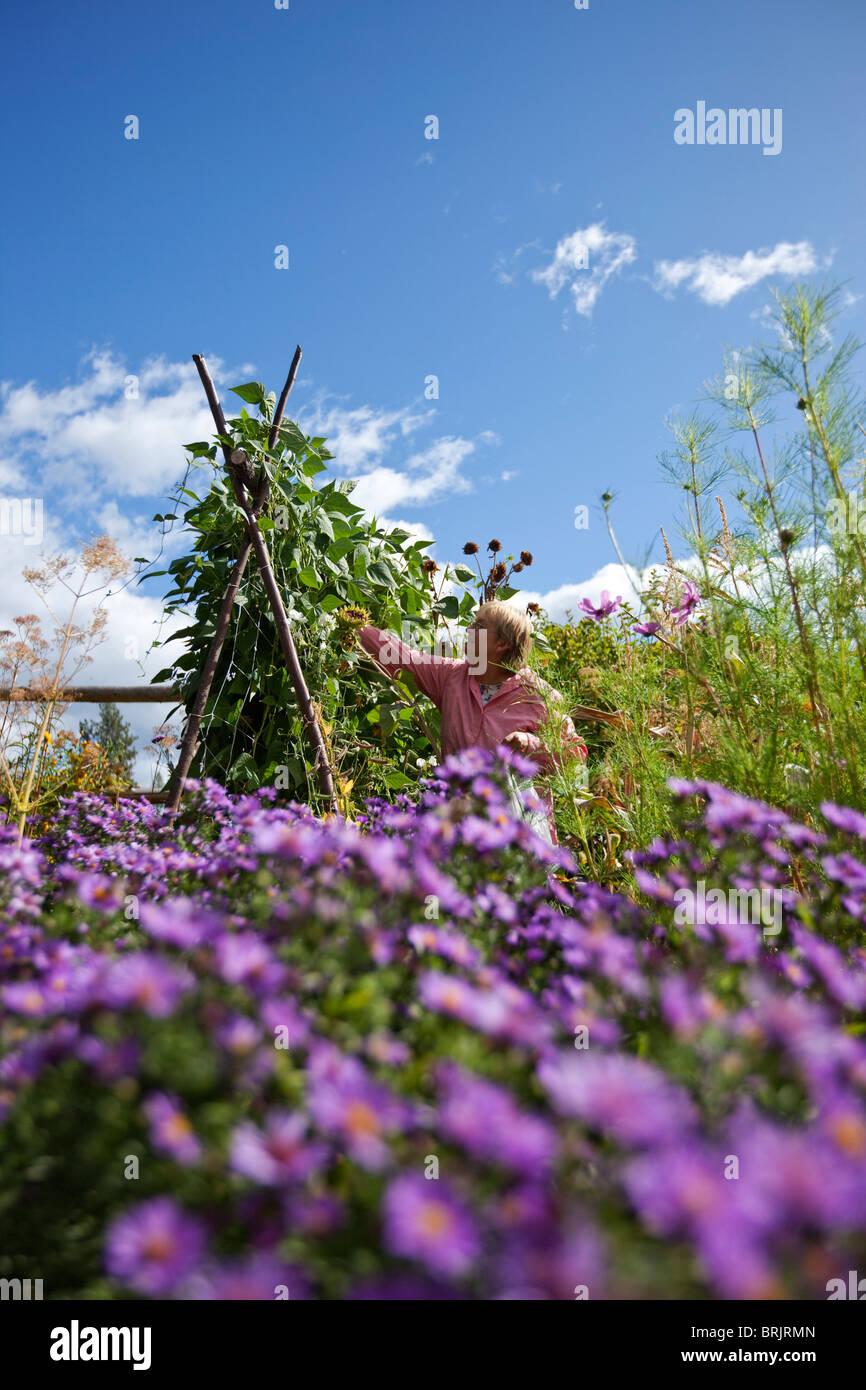 Pensionierte Frau nimmt Bohnen aus schönen Bio-Garten in Idaho. Stockbild