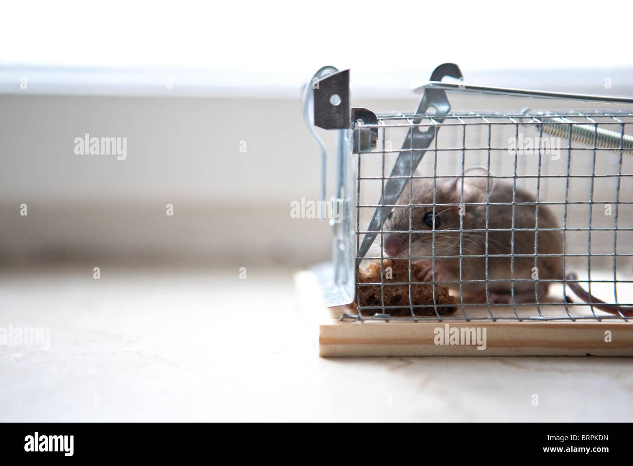 mouse stockfotos mouse bilder alamy. Black Bedroom Furniture Sets. Home Design Ideas