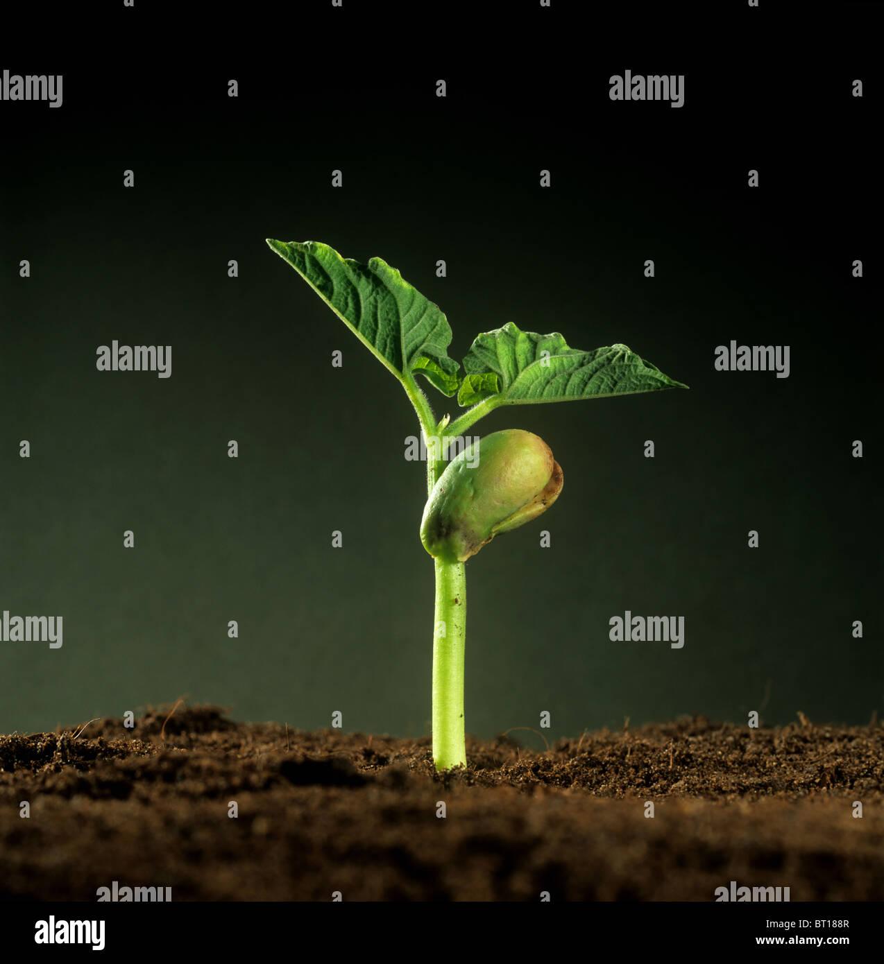 Grüne Bohne (Phaseolus Vulgaris) Sämling mit Samenlappen Essen Reserve und ersten Laubblätter Stockbild