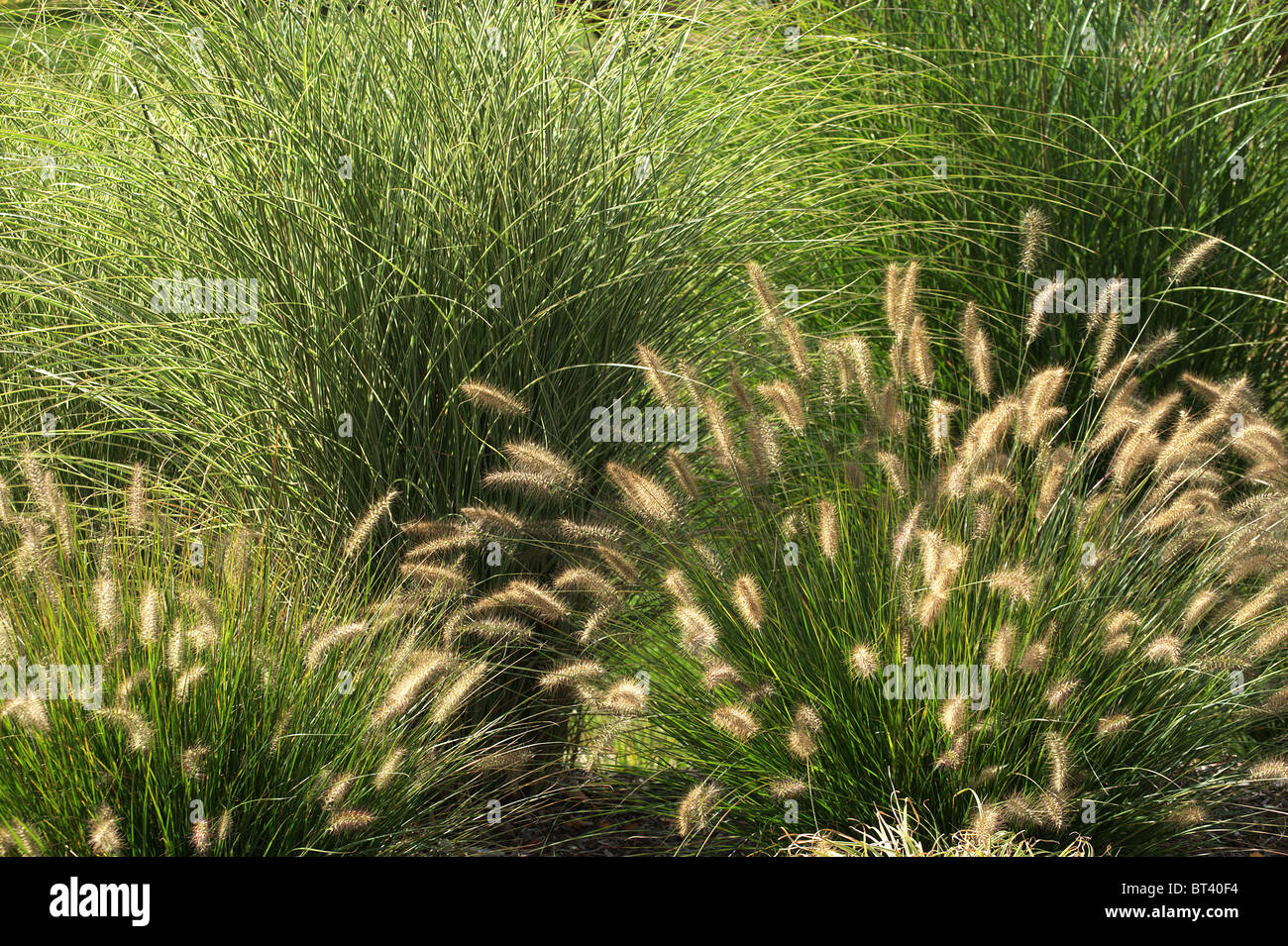 tall ornamental grass stockfotos tall ornamental grass bilder alamy. Black Bedroom Furniture Sets. Home Design Ideas