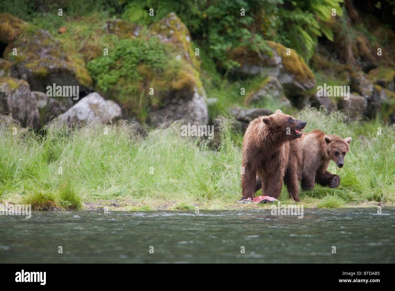 Braunbär säen mit älteren Cub essen Lachs auf einem Stream-Ufer in der Nähe von Prince William Stockbild