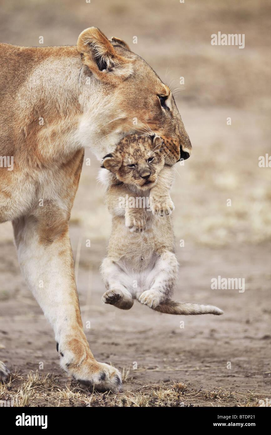 Löwin mit Jungtier. Häufig verschiebt junge jungen sich um eine Ansammlung von Duft zu verhindern. Masai Stockbild