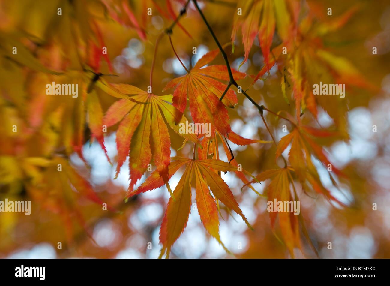 japanese maple acer palmatum orange stockfotos japanese. Black Bedroom Furniture Sets. Home Design Ideas