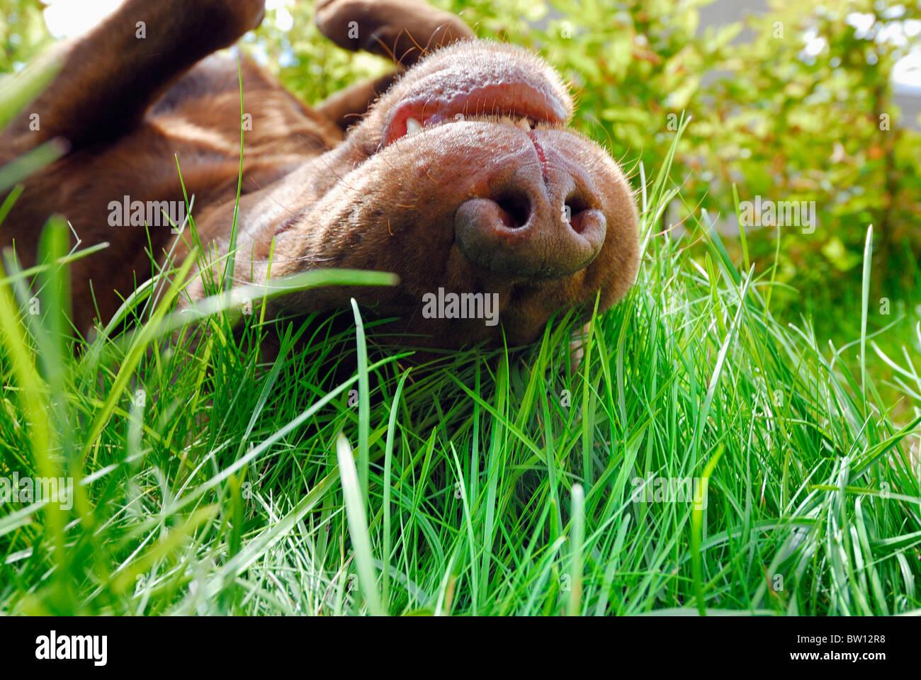 Brauner Labrador Retriever Rollen in den Rasen, Schweden Stockbild