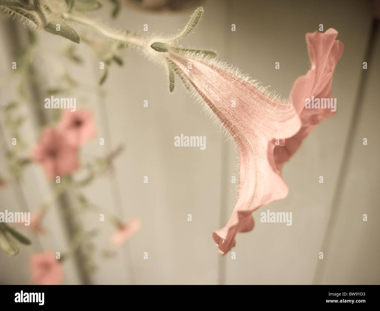 Nahaufnahme des hellen farbigen Pfirsichblüten. Stockbild