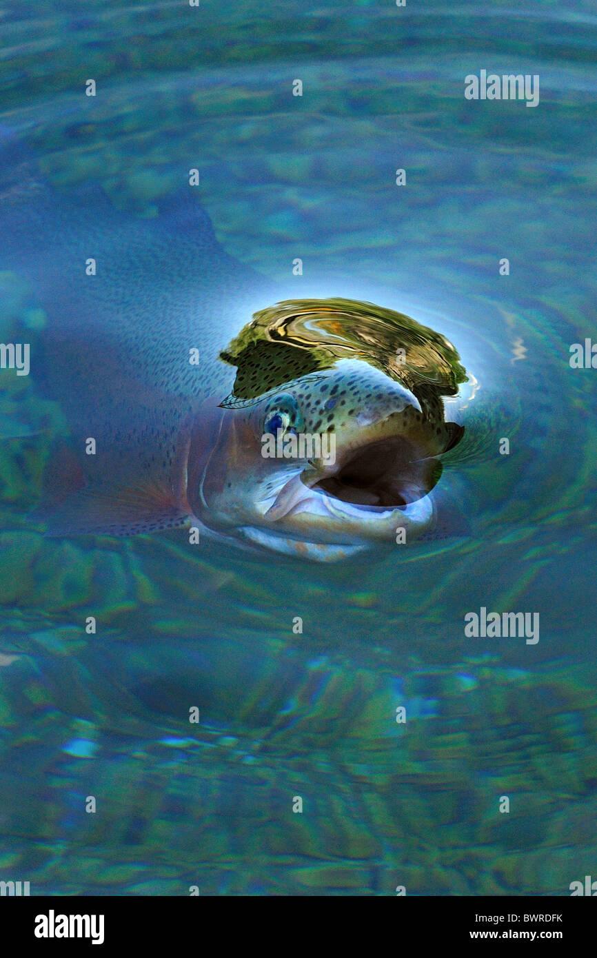 Regenbogen-Forelle, Oncorhynchus Mykiss, Gefangenschaft Stockbild