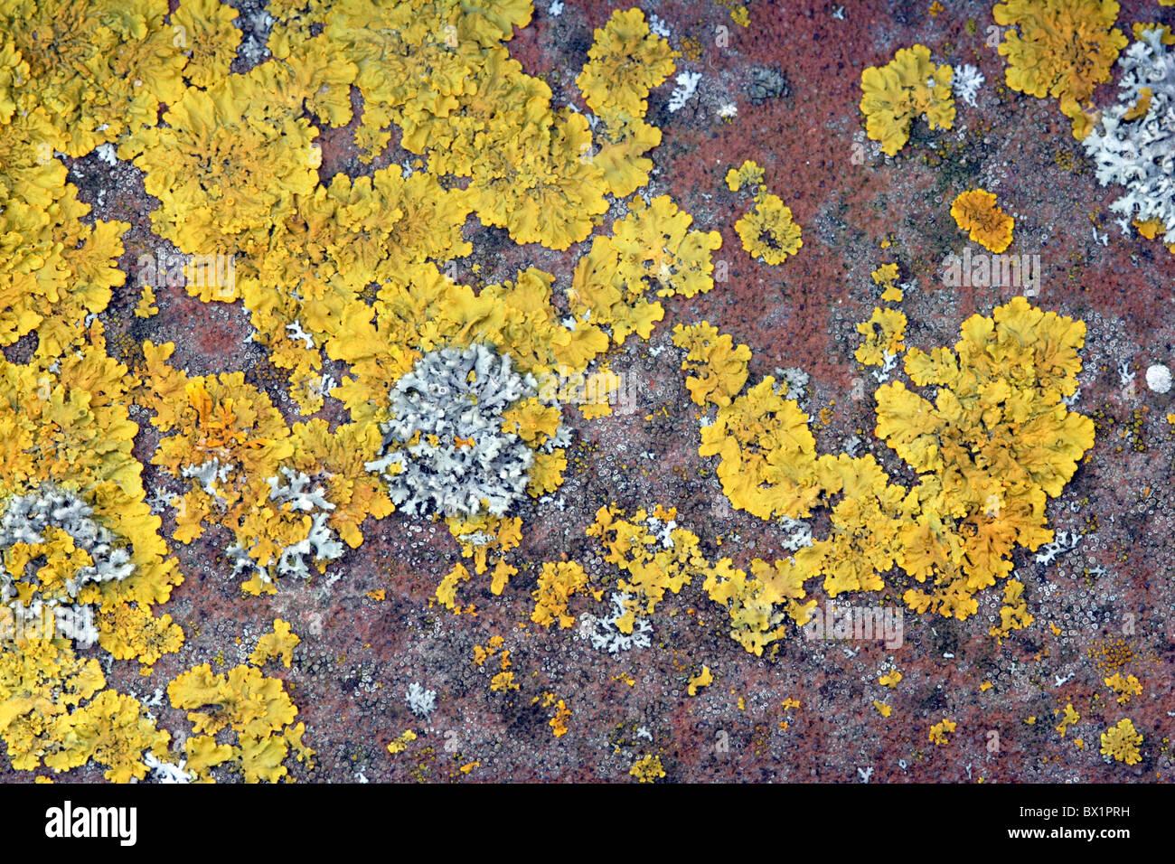 Flechten (Xanthoria Parietina) wächst auf Kachel Stockbild
