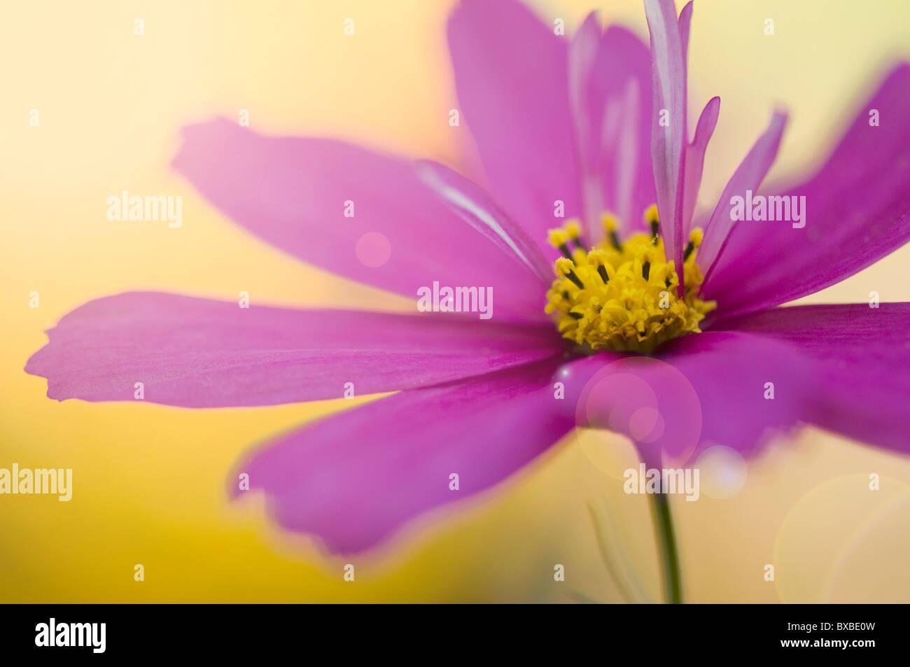 Eine einzelne Kosmos Blume mit Sonne Flare - Lens flare Stockbild