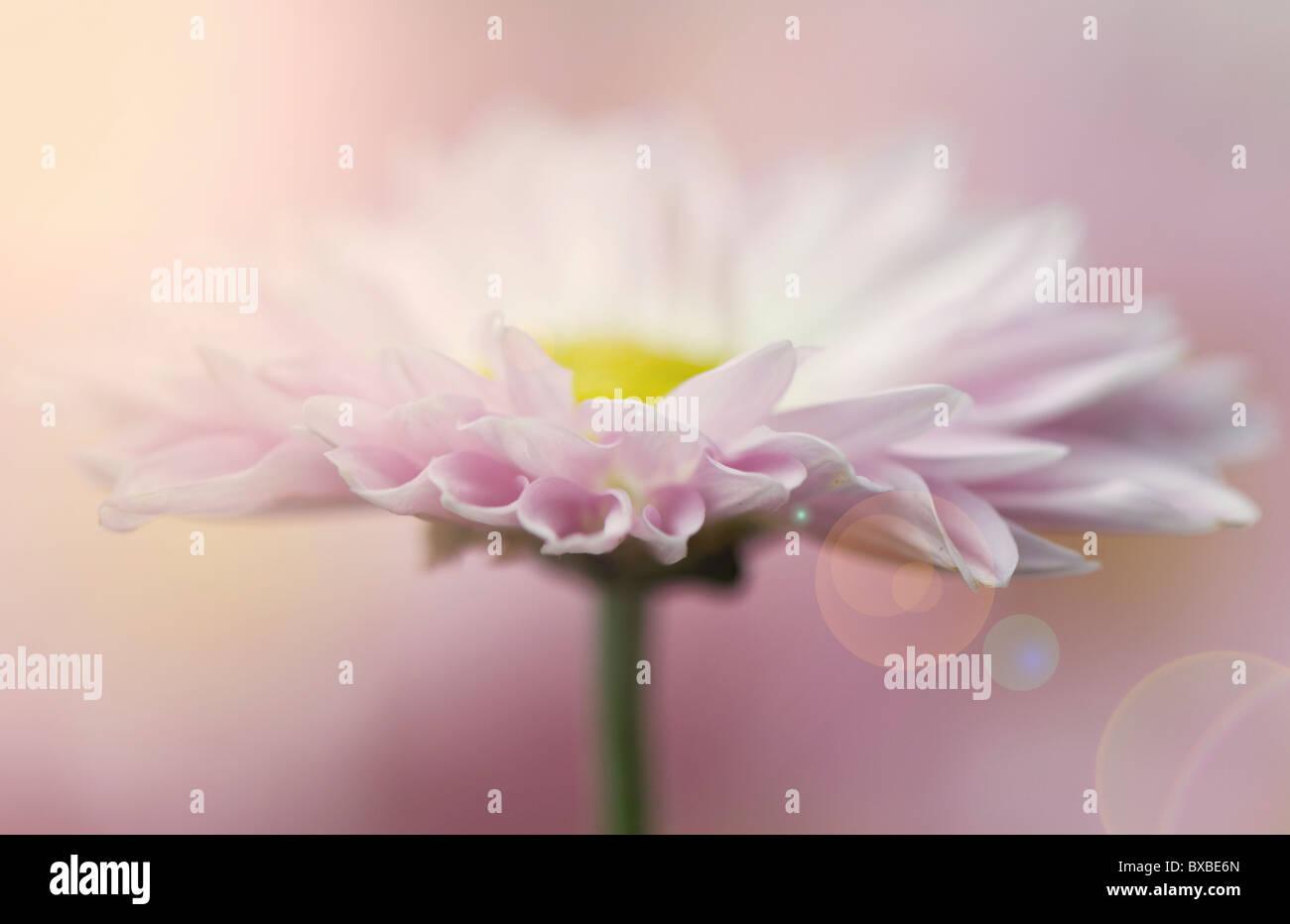 Eine einzelne Daisy Blume mit kreativen Len Flare - Sun Flare Stockbild