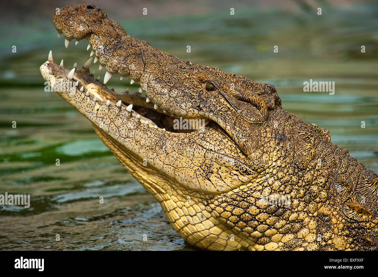 Nil-Krokodil (Crocodylus Niloticus) aus dem Wasser schauen. Stockbild
