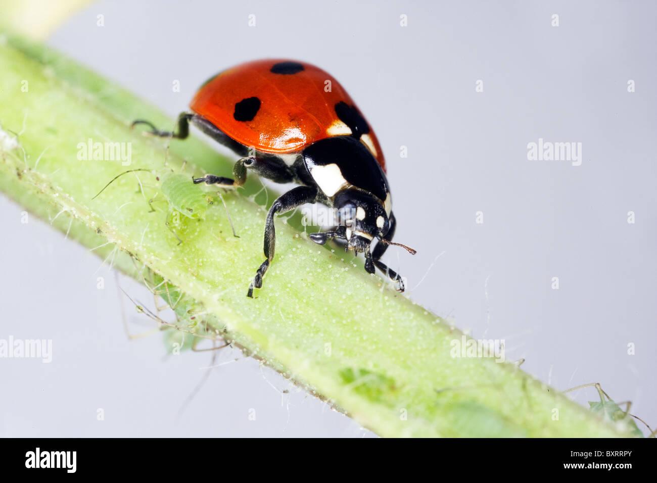 Marienkäfer krabbeln auf Stamm Stockbild