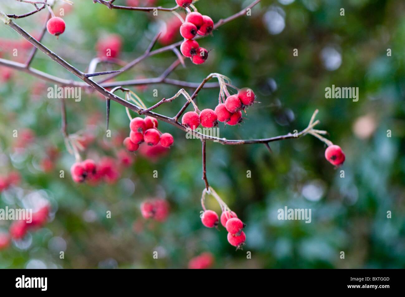 Leuchtend rote Beeren im Winter gegen weiche Hintergrund Stockbild