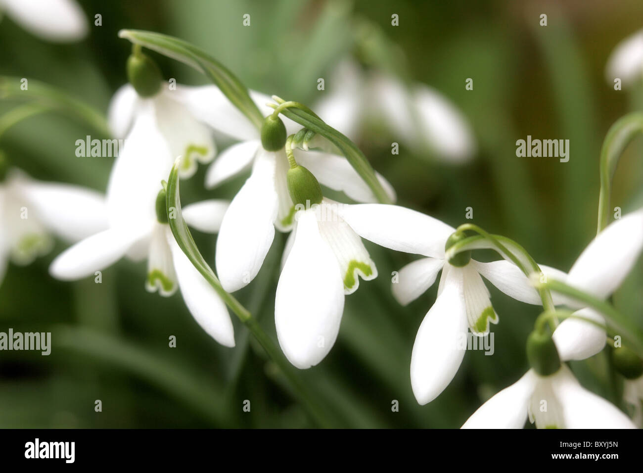 Frühling Schneeglöckchen Stockbild