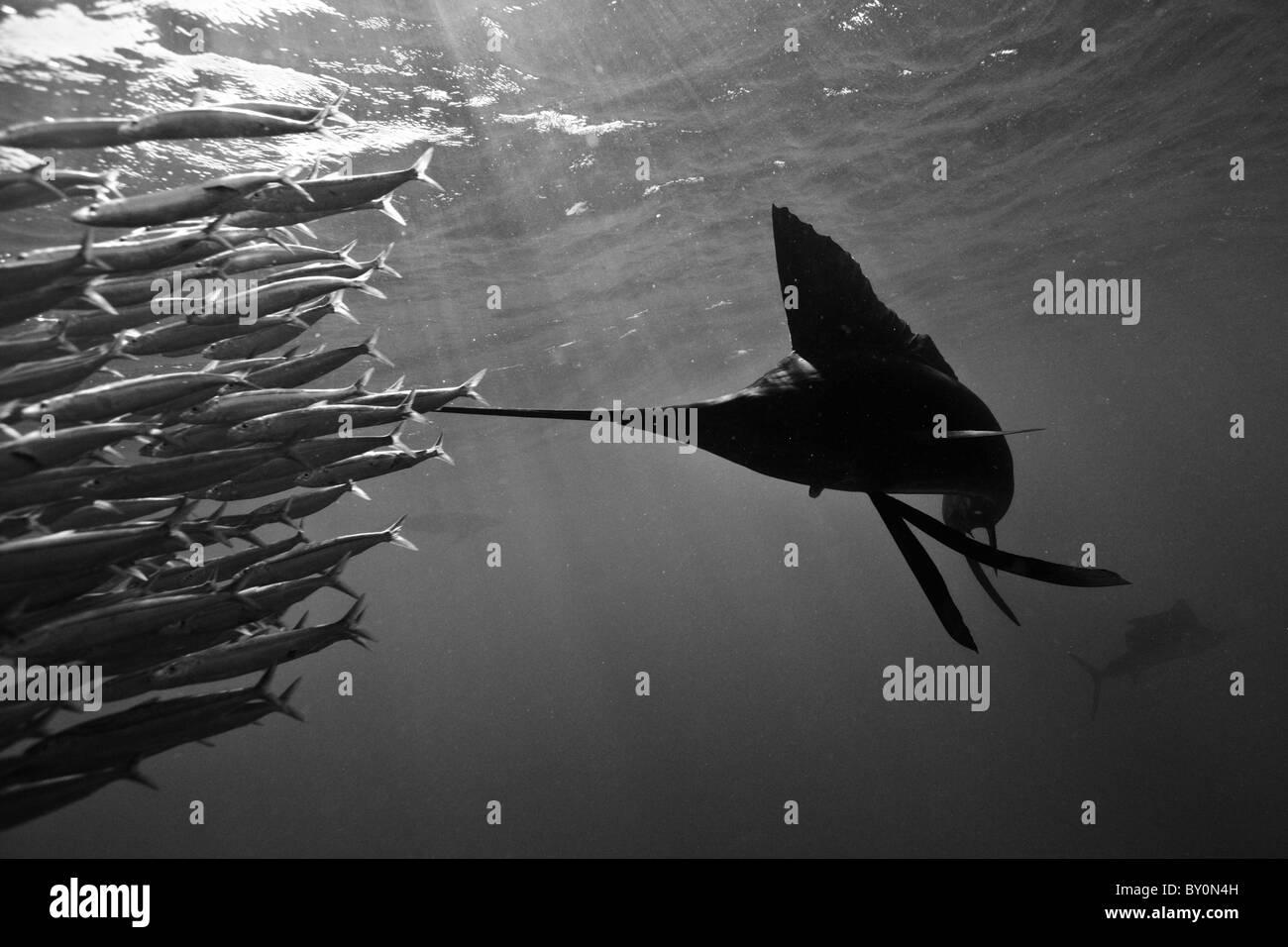 Atlantic Sailfish Herde Sardinen, Istiophorus Albicans, Isla Mujeres, Halbinsel Yucatan, Karibik, Mexiko Stockbild