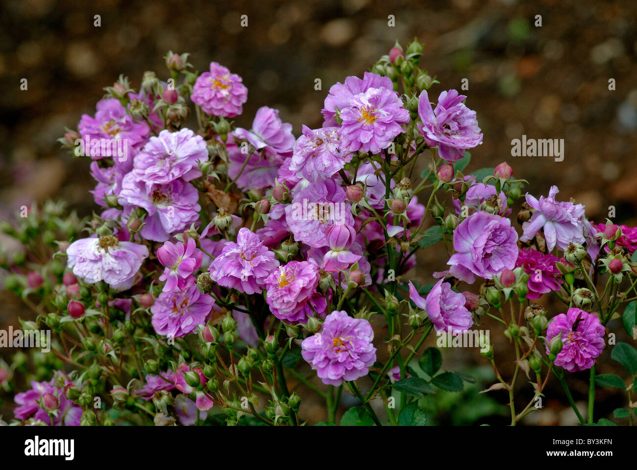 CENTENARY ROSENGARTEN IN OOTY TAMILNADU Stockbild