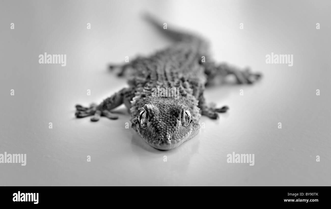 Maurischer Gecko Tarentola mauritanica Stockbild