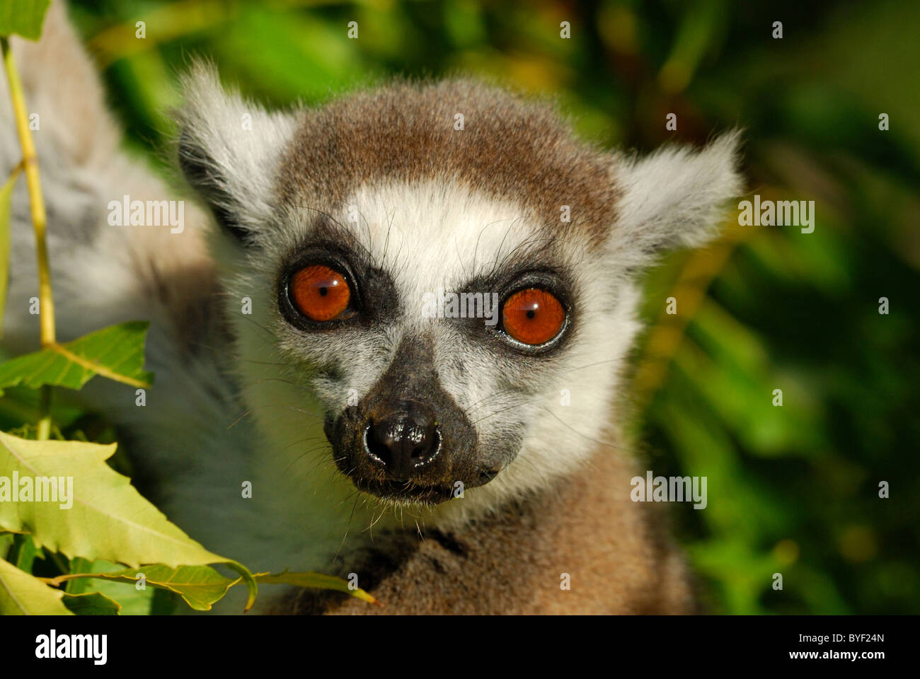 Katta im Berenty Reserve, Madagaskar Stockbild