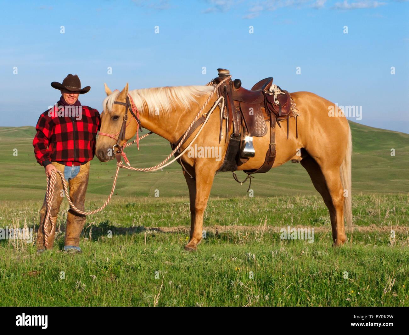 Vieh - stellt ein Cowboy mit seinem Pferd in einen grünen Prärie / Alberta, Kanada. Stockbild