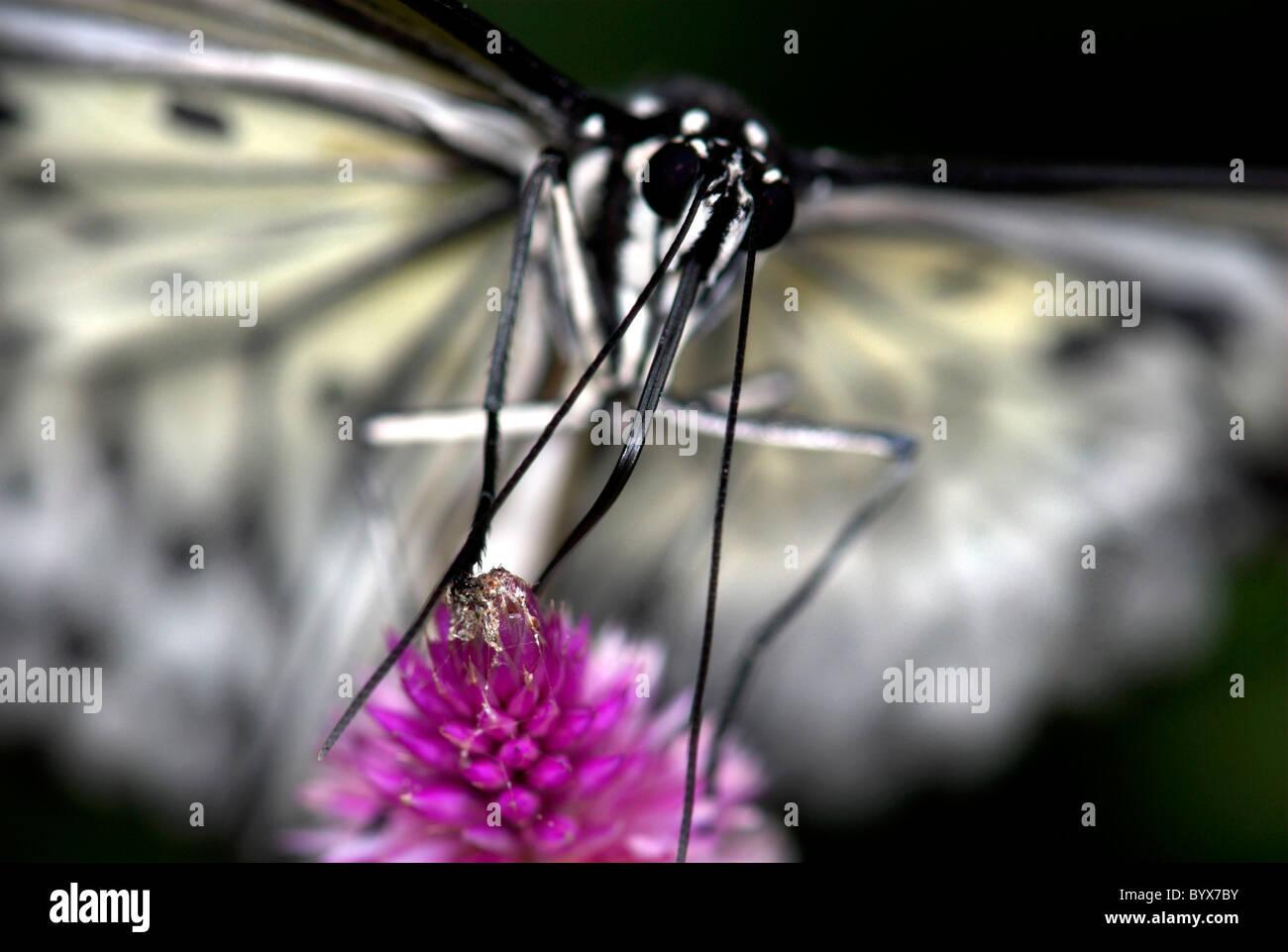 Baum Nymphe ButterflyIdea Leuconoe Asien Stockfoto