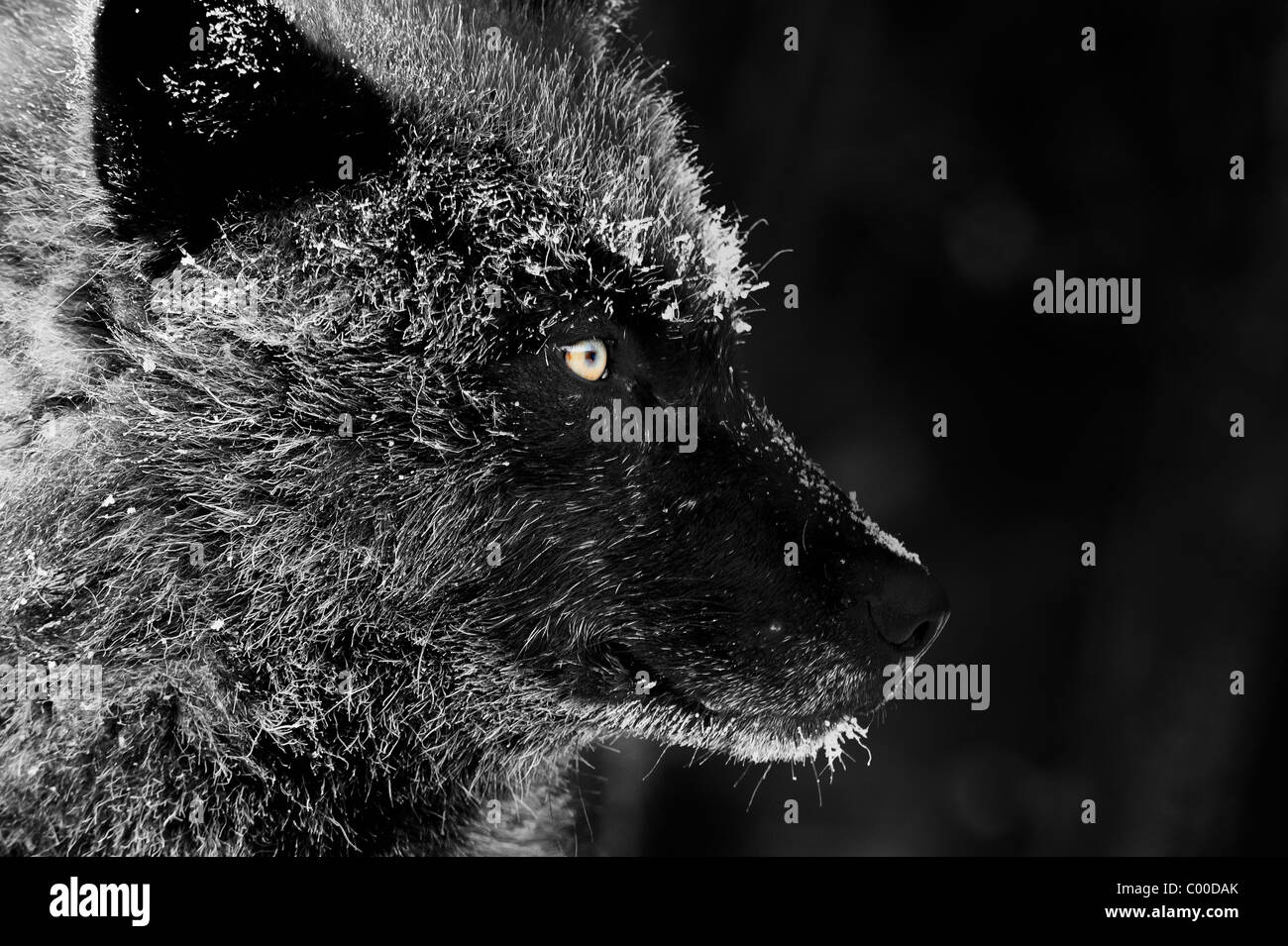 Ein schwarzer Wolf Gesichtsprofil mit Frost bedeckt Pelz aus einem kalten Winterabend in der Northwoods Stockbild
