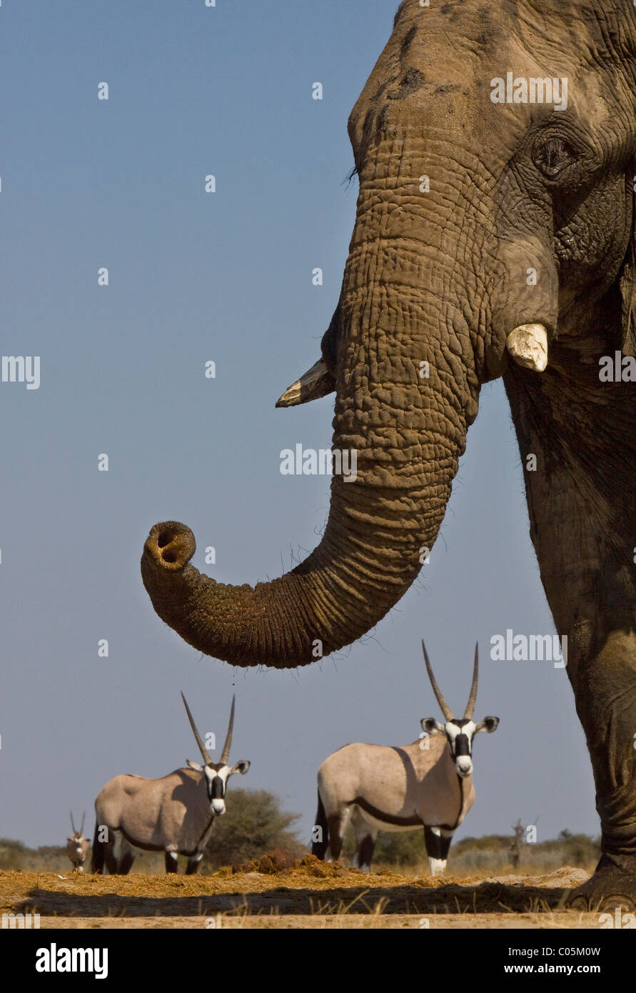Elefant und Gemsbok, Etosha Nationalpark, Namibia. Stockbild