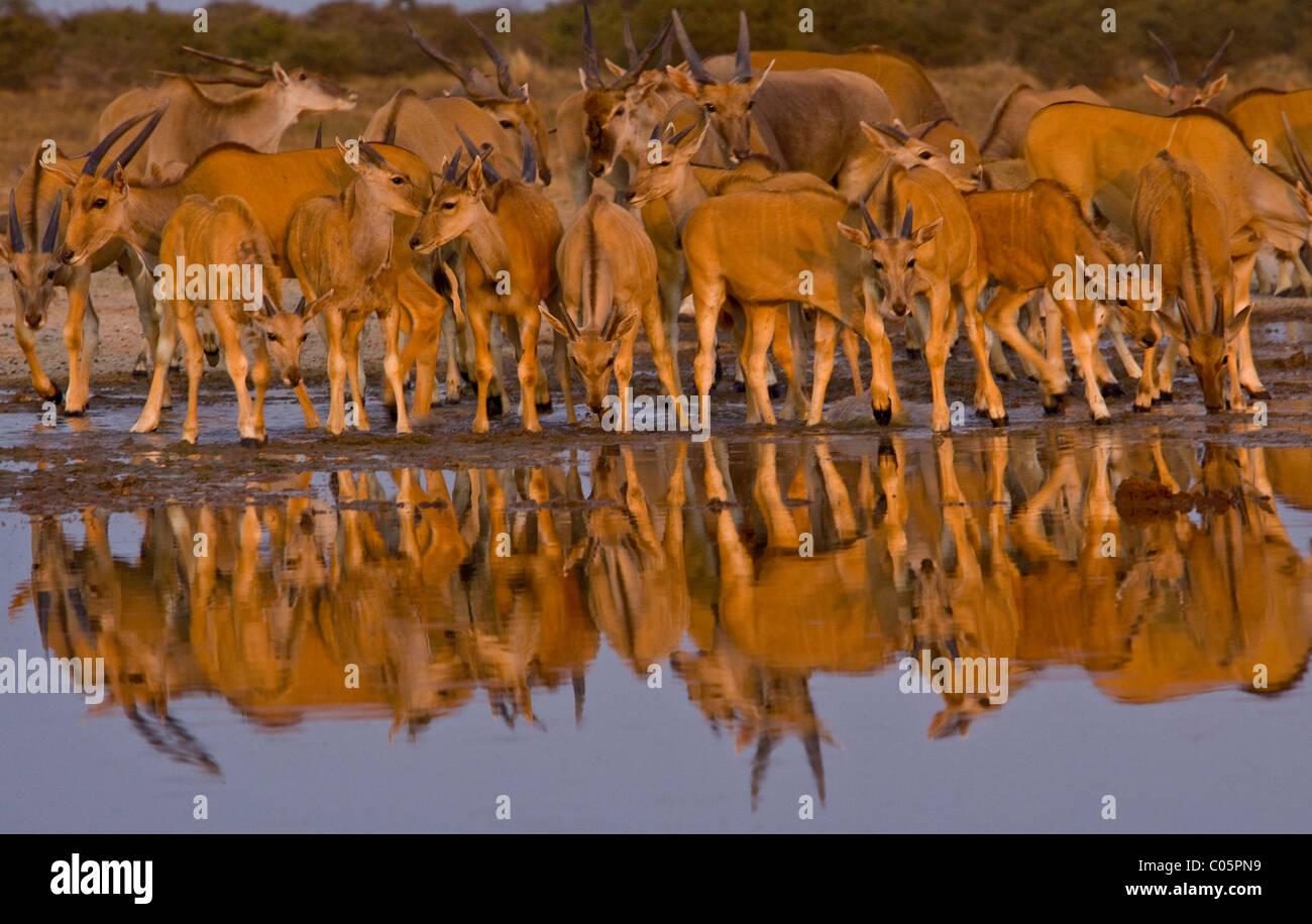 Eland Herde am Wasserloch, Etosha Nationalpark, Namibia. Stockbild