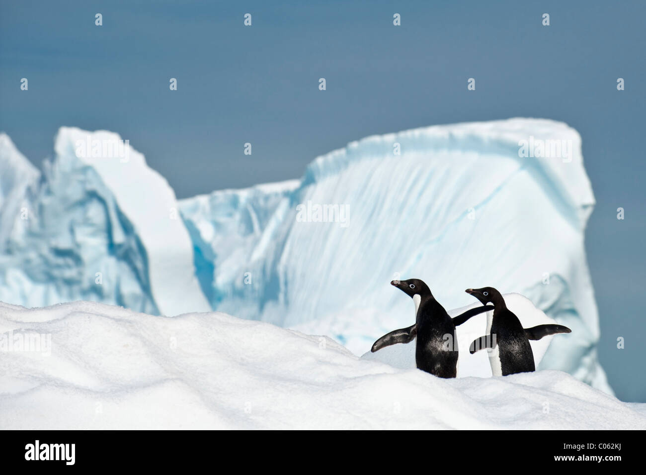 Adelie-Pinguine (Pygoscelis Adeliae) auf Eisberg. Yalour Inseln, antarktische Halbinsel, Antarktis. Stockbild