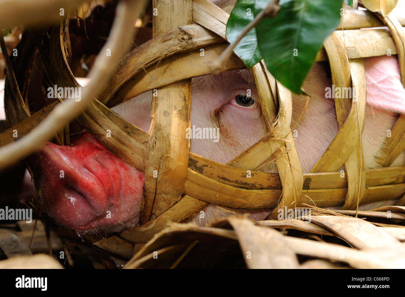 Leiden Hausschwein in Transport-Korb, Vietnam, Asien Stockbild